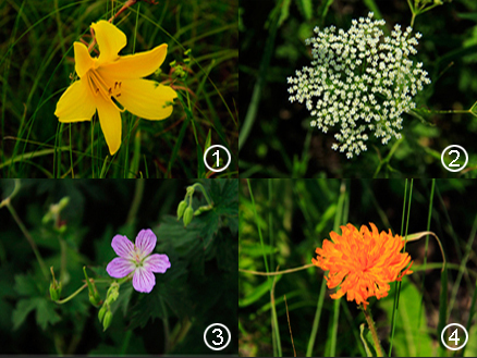 Wild flowers, Beijing Hikers Hailar, July014, 2011